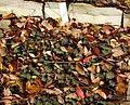 Sempervivum grandiflorum - Botanischer Garten Braunschweig - Braunschweig, Germany - DSC04384.JPG
