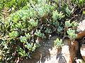 Senecio serpens - Table Mountain - South Africa.JPG