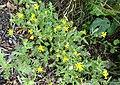 Senecio viscosus (Sticky Groundsel), Kilmaurs, East Ayrshire.jpg