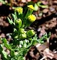 Senecio vulgaris ENBLA05.jpg