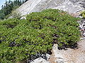 Sequoia National Park - Manzanita near Hanging Rock.JPG