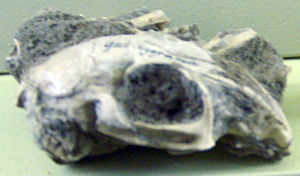 Leporidae - Serengetilagus praecapensis skull, Naturkundemuseum, Berlin