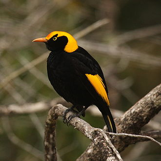 Regent bowerbird - Male in Queensland, Australia