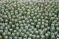 Ses Salines - Botanicactus - Euphorbia resinifera 04 ies.jpg