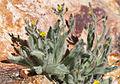 Shaggy hawkweed Hieracium horridum.jpg