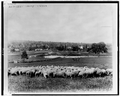 Sheep at Sheep Station; Houses and Woods in Background, Australia - WDL.png