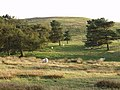 Sheep grazing the edge of Eglwyseg Mountain - geograph.org.uk - 243766.jpg