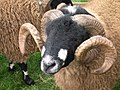 Sheep with interesting horns.jpg