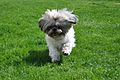 Shih Tzu puppy.JPG
