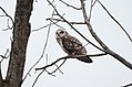 Short-eared Owl (32005905274).jpg