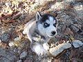 Siberian Husky blue eyes (1).jpg