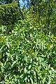 Sibiraea laevigata kz14.jpg