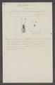 Silvanus - Print - Iconographia Zoologica - Special Collections University of Amsterdam - UBAINV0274 018 01 0027.tif