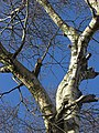 Silver Birch, Turf Lane (1) - geograph.org.uk - 1157230.jpg