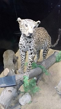 Sinai Leopard in Giza Zoological Museum.jpg