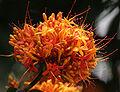 Sita-Ashok (Saraca asoca) flowers in Kolkata W IMG 4240.jpg