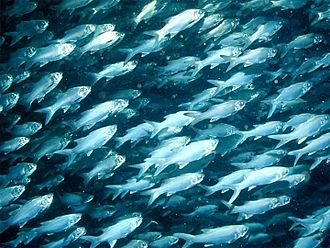 Coastal fish - Schooling threadfin, a coastal species