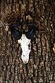 Skull Alcelaphus lichtensteinii.jpg