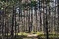 Skulyn Kovelskyi Volynska-Sosnyna-1 nature monument-Pinus sylvestris-2.jpg