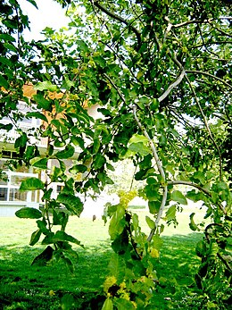 Slatifolia1
