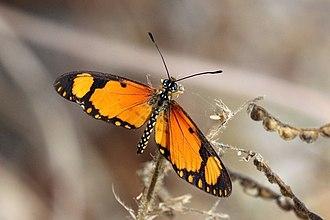 Acraea serena - Image: Small orange acraea (Acraea serena serena) male 2