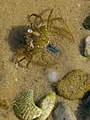 Small submerged crab - geograph.org.uk - 515292.jpg