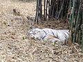 Snoozing white tiger.jpg