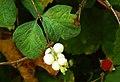Snowberry and thimbleberry.jpg