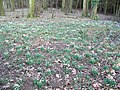 Snowdrops, The Grove - geograph.org.uk - 1700605.jpg