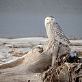 Snowy Owl, Biddeford Pool, Maine (28017996499).jpg