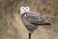 Snowy owl (Bubo scandiacus), Vlieland, Netherlands.jpg