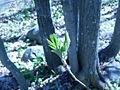Sorbus americana, Sault Ste Marie 3.JPG