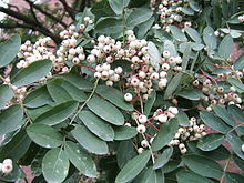 Foliage and clusters of small white fruits