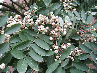 Rowan - White-fruited rowan Sorbus glabrescens, a Chinese species with white fruit