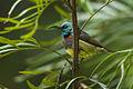 Souimanga Sunbird - Andasibè - Madagascar S4E7744 (15266051336).jpg