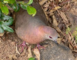 Southafrica348lemon dove.jpg