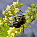 Southern Carpenter Bee - Xylocopa micans (14120116106).jpg