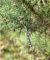 Southern Hawker dragonfly (m) (9504601944).jpg
