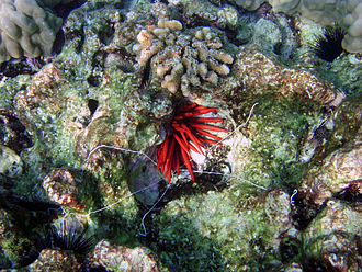 Worm - White tentacles of Eupolymnia crasscornis below red sea urchin in Kona, Hawaii