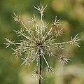 Sparkler weed (8539245890).jpg