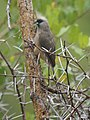 Speckled Mousebird (10547741403).jpg
