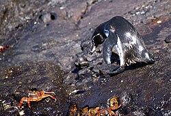 Un manchot des Galápagos, sur un rocher, avec des crabes sally-pied-léger