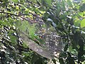 Spiderweb from Kerala 01.jpg