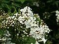 Spiraea cantoniensis Plena1SHSU.jpg