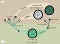 Sporic meiosis.png
