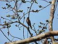 Spot-winged Starling P1230833 01.jpg