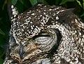 Spotted Eagle Owl (Bubo africanus) female (32155007823).jpg