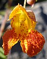 Spotted Jewelweed (Impatiens capensis) - Thunder Bay, Ontario.jpg