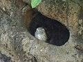 Spotted Owlet Athene brama, Kanha.jpg