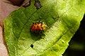 Spotted Tortoise Beetle (Aspidimorpha miliaris) 4446.jpg
